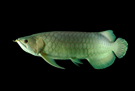arowana fish on black background photo