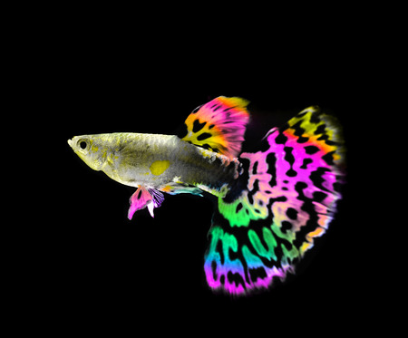 beautiful  guppy  fish swimming isolated on black photo