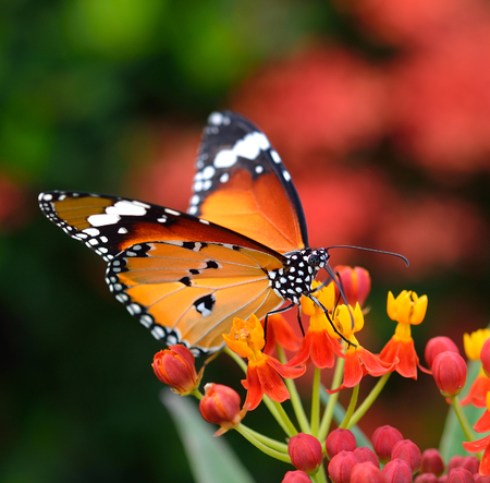 Butterfly on orange flower in the garden photo