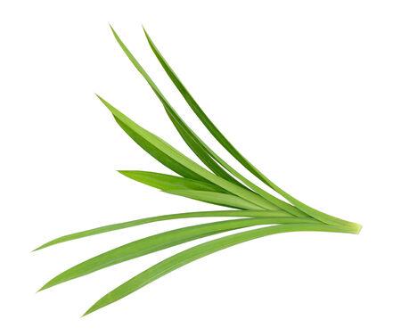 pandanus: Pandanus Palm, Fragrant Pandan, Pandom wangi