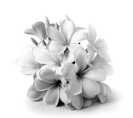 Tropical flowers frangipani (plumeria) black and white isolated on white background photo