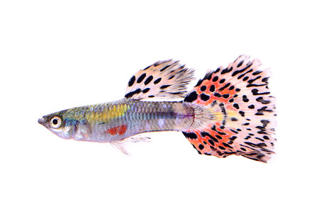 guppies: guppy fish isolated on white background