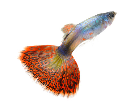 guppy fish isolated on white background photo