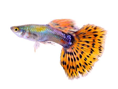 peces guppy aislados sobre fondo blanco