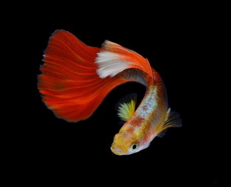 guppy fish: Beautiful Guppy Isolated on Black Background Stock Photo