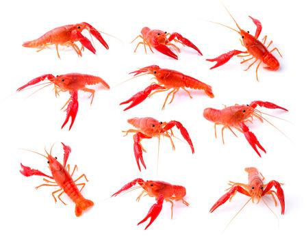 Red crawfish on white background photo