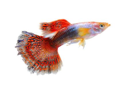 acquarium: guppy fish isolated on white background