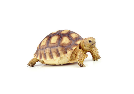 snapping turtle: turtle on over white background