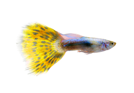 guppy: guppy fish isolated on white background