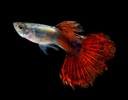 Beautiful Guppy Isolated on Black Background photo