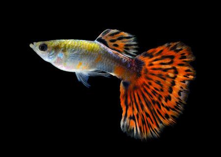 guppy fish: Guppy fish Isolated on Black Background