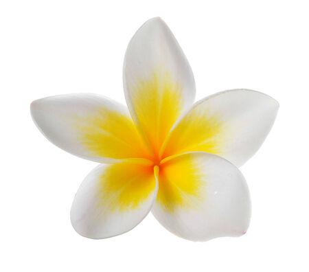 frangipani flower: Frangipani flower isolated on white background
