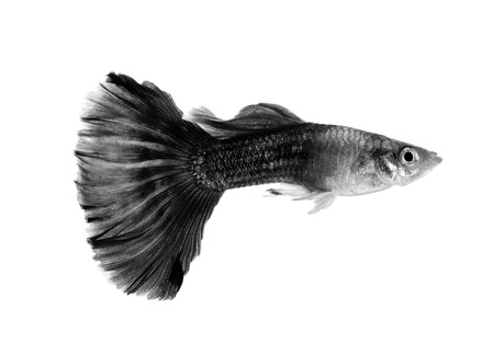 guppies: black guppy fish isolated on white background