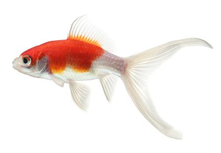 peces de acuario: peces de oro aislados en fondo blanco