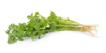 cilantro: El cilantro sobre fondo blanco Foto de archivo