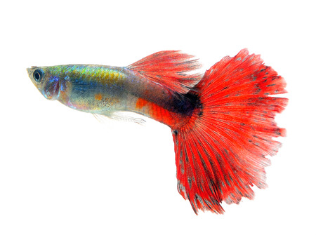 guppy: Beautiful Guppy Isolated on whte  Background