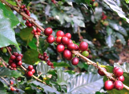arbol de cafe: granos de caf� en cafeto