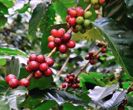 arbol de cafe: frijoles rojos de caf� en cafeto