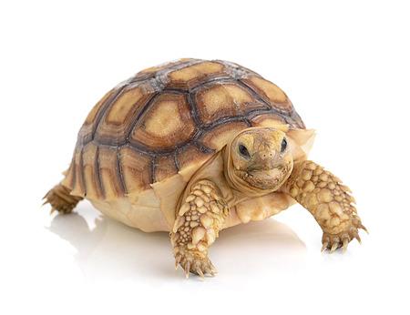 turtles: turtle on white background