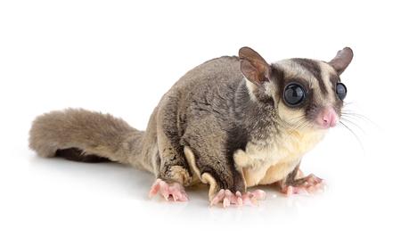 possum: Sugar Glider on white background Stock Photo