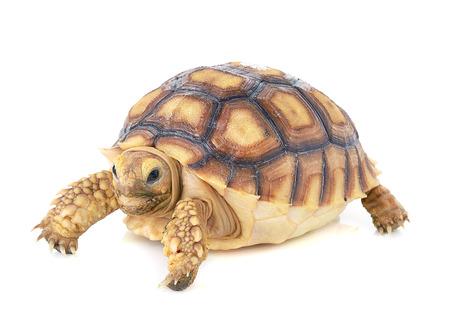 schildkröte: Vektor-Schildkröte auf weißen Hintergrund Lizenzfreie Bilder