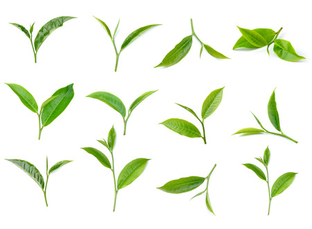 young leaves: tea leaf isolated on white background