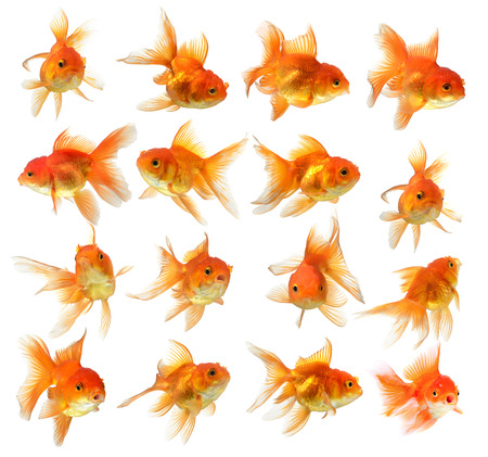 set of gold fish Isolation on the white background
