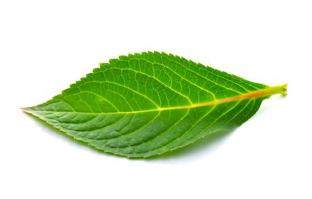 leaves on white background photo