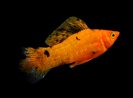 sailfin: Molly fish isolated on a black background