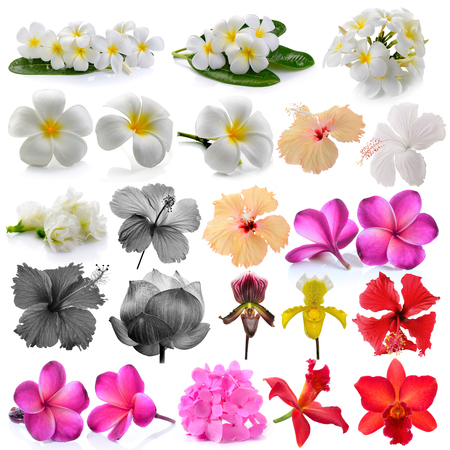 Orchid  Frangipani ,Asian pigeonwings, Flowers Isolated on White Background. photo