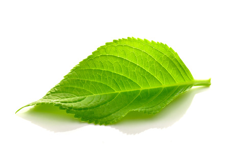 green leaves on a white background photo