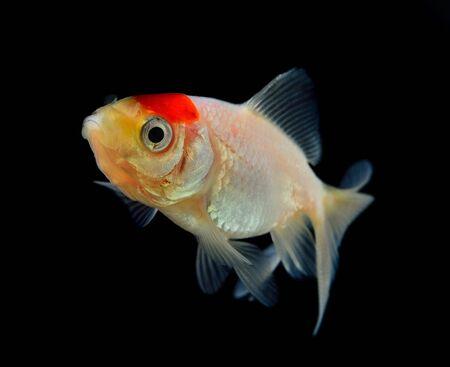 goldfish isolated: Goldfish isolated on a black background