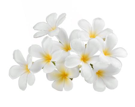 fiore isolato: frangipani fiore isolato sfondo bianco