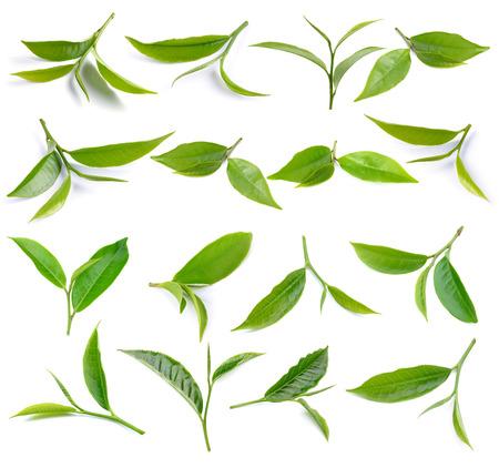 feuilles d arbres: feuilles de thé vert isolé sur fond blanc Banque d'images