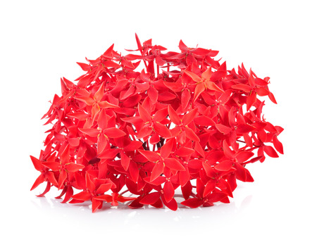 ixora: Red ixora over white background Stock Photo