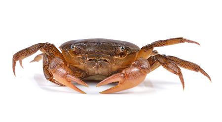 crab on white background 版權商用圖片