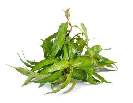laksa: Vietnamese mint isolated on white background Stock Photo