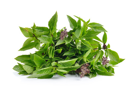 basil: Sweet Basil on white background Stock Photo