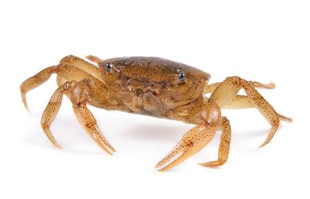 cangrejo: cangrejos en el fondo blanco Foto de archivo