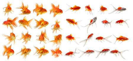白い背景の上の金の魚分離のセット
