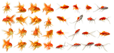 tropical fish: set of gold fish Isolation on the white background