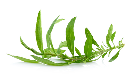 tarragon: Tarragon herbs Stock Photo