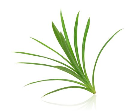 fragrant: Pandanus Palm, Fragrant Pandan, Pandom wangi