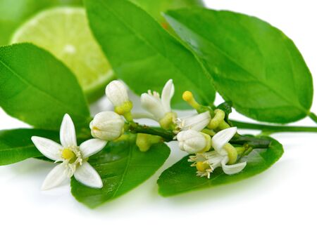 lime blossom: Fresh lime blossoms on white background