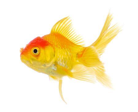 fish isolated: gold fish isolated on white background