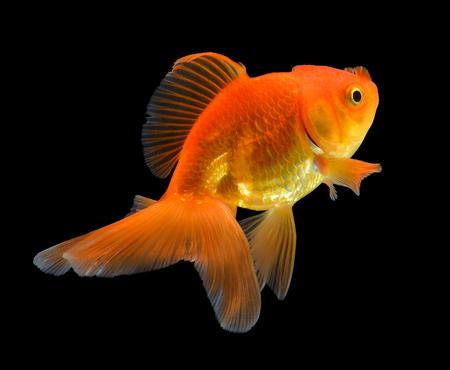 gold fish on black