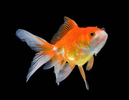 jelly head: gold fish on black background