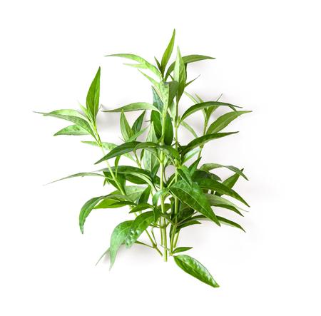 fresh kariyat herb plant on white background