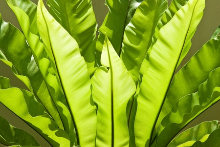 Bird s nest fern photo