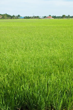 rice field Stock Photo - 13031907